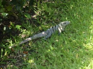 An iguana running wile at the El Cid resort